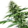 Power Flower Feminised насіння конопель: фото, характеристики, відгуки, опис