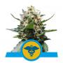 Royal Medic CBD feminised насіння конопель: фото, характеристики, відгуки, опис