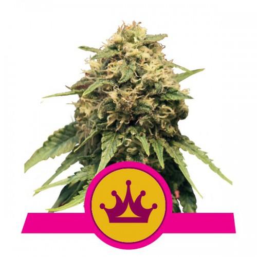 Special Queen 1 Feminised насіння конопель: фото, характеристики, відгуки, опис