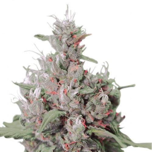 Royal Creamatic Feminised насіння конопель: фото, характеристики, відгуки, опис