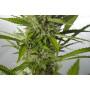 Auto White Widow XXL Feminised насіння конопель: фото, характеристики, відгуки, опис