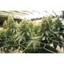 Blue Widow Feminised насіння конопель: фото, характеристики, відгуки, опис