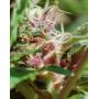 Red Purps Feminised насіння конопель: фото, характеристики, відгуки, опис