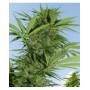 Easy Sativa Feminised насіння конопель: фото, характеристики, відгуки, опис