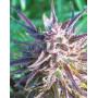 Purple Maroc Feminised насіння конопель: фото, характеристики, відгуки, опис