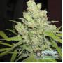 Auto Big Bud Feminised насіння конопель: фото, характеристики, відгуки, опис
