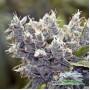 Bubble Gum Feminised насіння конопель: фото, характеристики, відгуки, опис