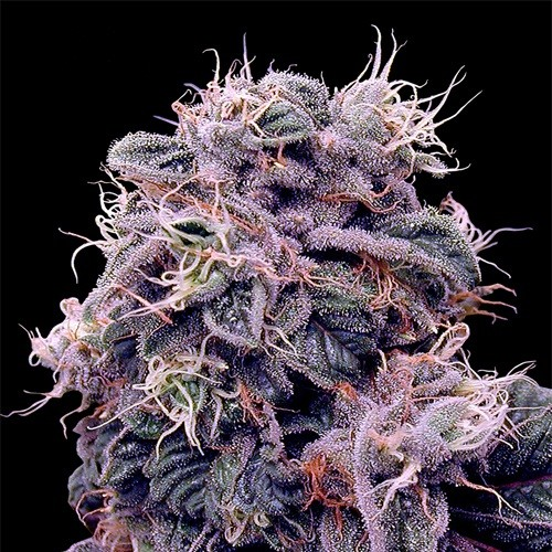 Auto Blueberry насіння конопель: фото, характеристики, відгуки, опис