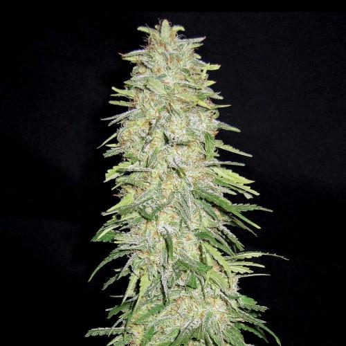 Auto Bubble Gum  насіння конопель: фото, характеристики, відгуки, опис