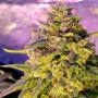Auto Bubblelicious насіння конопель: фото, характеристики, відгуки, опис