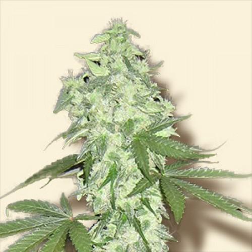 Lowryder №2  насіння конопель: фото, характеристики, відгуки, опис