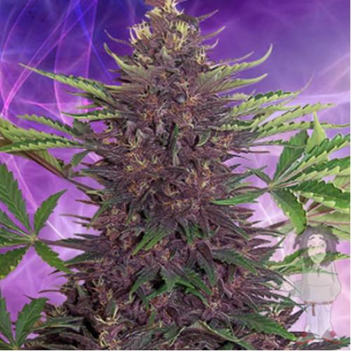 Auto Purple Kush насіння конопель: фото, характеристики, відгуки, опис