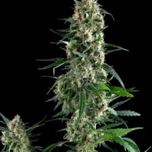 Amnesia Gold Feminised семена конопли: фото, характеристики, отзывы, описание