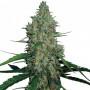G13 Haze насіння конопель: фото, характеристики, відгуки, опис