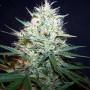 Jack 47 Feminised насіння конопель: фото, характеристики, відгуки, опис