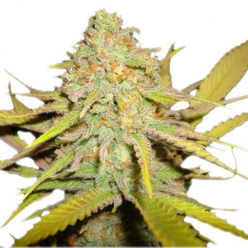 Kush насіння конопель: фото, характеристики, відгуки, опис