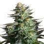 Silver Haze  Feminised насіння конопель: фото, характеристики, відгуки, опис