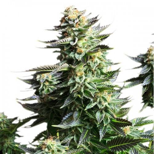 Amnesia Haze насіння конопель: фото, характеристики, відгуки, опис