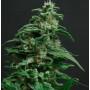 Black Widow насіння конопель: фото, характеристики, відгуки, опис