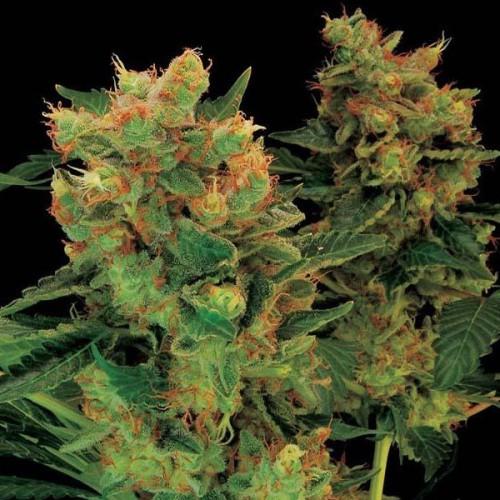 Hash Plant Feminised (поштучно) насіння конопель: фото, характеристики, відгуки, опис