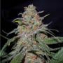 Lemon Skunk насіння конопель: фото, характеристики, відгуки, опис