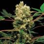 Power Kush насіння конопель: фото, характеристики, відгуки, опис