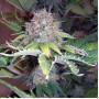 Power Plant насіння конопель: фото, характеристики, відгуки, опис