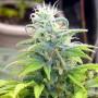 Skunk #11 насіння конопель: фото, характеристики, відгуки, опис