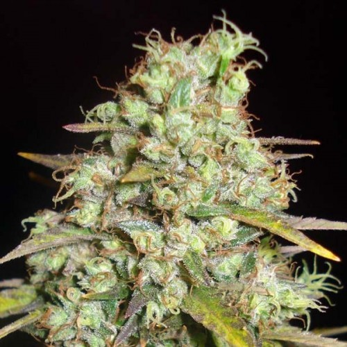 Super Silver Haze насіння конопель: фото, характеристики, відгуки, опис