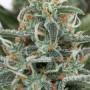 White Widow Feminised - JAH Seeds насіння конопель: фото, характеристики, відгуки, опис