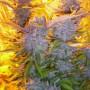 Blue Mammoth Feminised насіння конопель: фото, характеристики, відгуки, опис