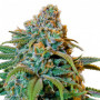 Liberty Haze Feminised насіння конопель: фото, характеристики, відгуки, опис