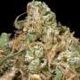 Tangerine Dream Feminised насіння конопель: фото, характеристики, відгуки, опис