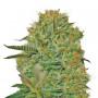 Top Dawg Feminised насіння конопель: фото, характеристики, відгуки, опис