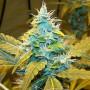 Auto Northern Blue Feminised насіння конопель: фото, характеристики, відгуки, опис