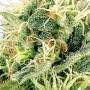 Auto Northern Lights Feminised - Carpathians Seeds семена конопли: фото, характеристики, отзывы, описание