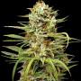 Auto White Widow Feminised - Carpathians Seeds семена конопли: фото, характеристики, отзывы, описание