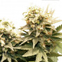 Master Kush Feminised насіння конопель: фото, характеристики, відгуки, опис