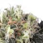 Snow Bud Feminised насіння конопель: фото, характеристики, відгуки, опис