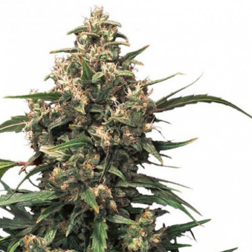 Strawberry Cough Feminised насіння конопель: фото, характеристики, відгуки, опис