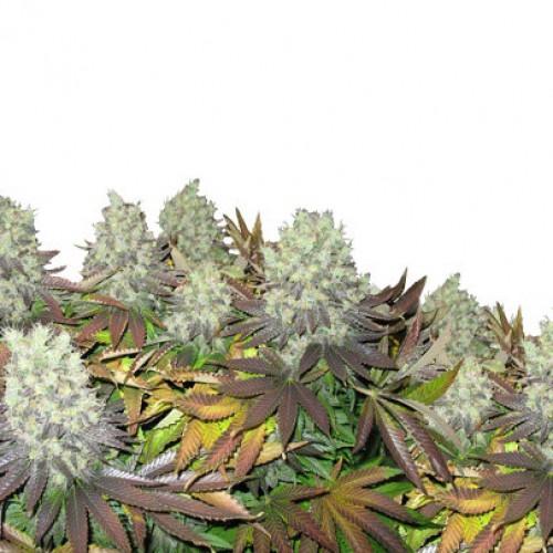 Amsterdam Flame насіння конопель: фото, характеристики, відгуки, опис