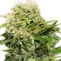 Auto Chronic Ryder насіння конопель: фото, характеристики, відгуки, опис