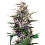 Auto Dark Devil насіння конопель: фото, характеристики, відгуки, опис