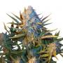 Auto Diesel Ryder насіння конопель: фото, характеристики, відгуки, опис