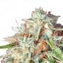 Auto Fast Bud насіння конопель: фото, характеристики, відгуки, опис
