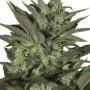Auto Great White насіння конопель: фото, характеристики, відгуки, опис