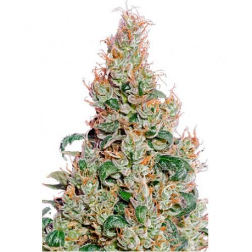 Auto Green-O-Matic насіння конопель: фото, характеристики, відгуки, опис