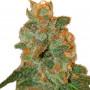 Auto Lemon Skunk насіння конопель: фото, характеристики, відгуки, опис