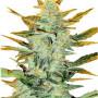 Auto Lowryder насіння конопель: фото, характеристики, відгуки, опис