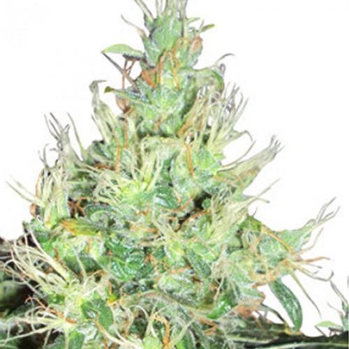 Auto Lowryder2 семена конопли: фото, характеристики, отзывы, описание